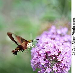 colibrí, moth