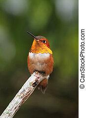 colibrí, rufous, rufus), (selasphorus