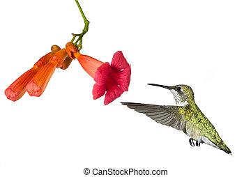 colibrí, y, el, flor, de, un, trompeta, vid