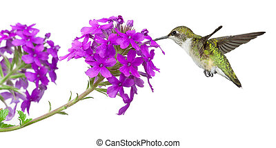 colibrís, bebidas, néctar, de, un, púrpura, phlox