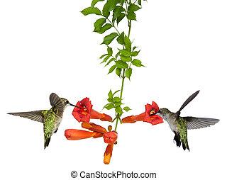 colibrís, comida, en, un, trompeta, vid