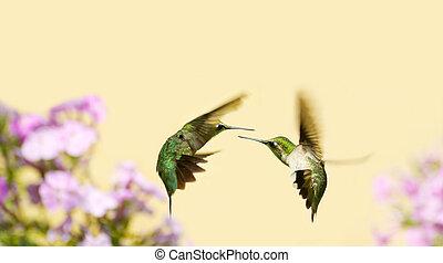 colibrís, fighting.