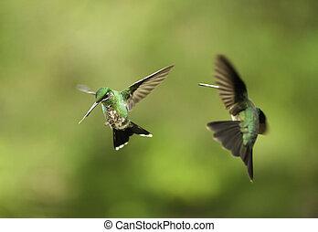 colibrís, lucha