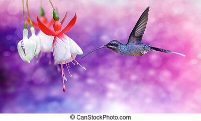 colibri, arrière-plan violet, sur