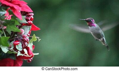 colibri, noël, nourrisseur