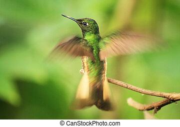 colibri, op, een, takje
