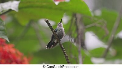 Colibri sitting on a branch, flying away