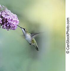 colibri, throated, rubis