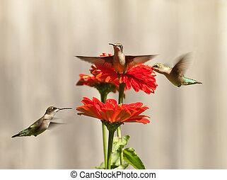 colibris, trois