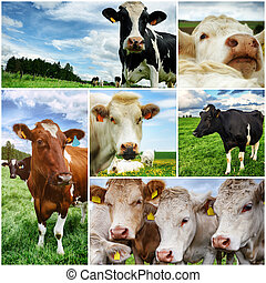 collage, agricole, vaches