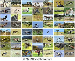 collage, av, afrikansk, djuren