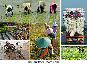 collage, champ, riz, agriculture