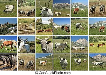 collage, cultures, -, bétail, italien