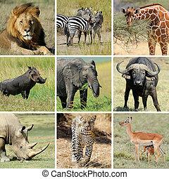 collage, dier, afrikaan