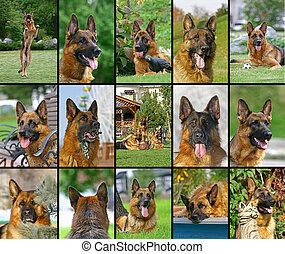 collage, duitse herdershond, gezichten