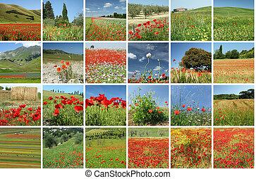 collage, fioritura, papaveri