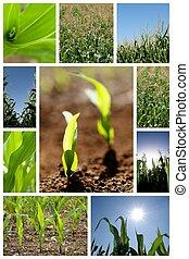 collage, maíz, verde