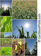 collage, maïs, vert