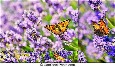 collage, mit, papillon, auf, blühen, lavendel, blumen