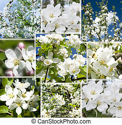 Collage of beautiful apple tree white flowers .