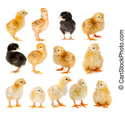 Collage of beautiful yellow and black chicks isolated on...