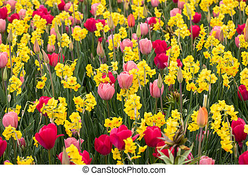 collage of colorful tulips and daffodils in the par