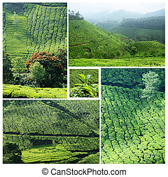 Collage of famous Munnar tea plantations in southwestern...