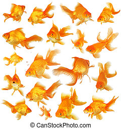 Collage of fantail goldfish