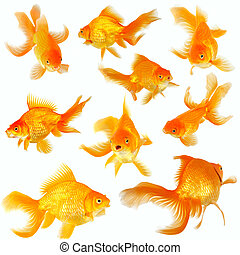 Collage of nine fantail goldfish on white