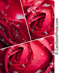 Collage of Red Rose