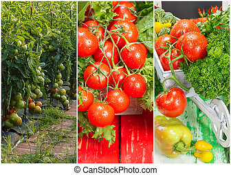 Collage of ripe organic tomatoes