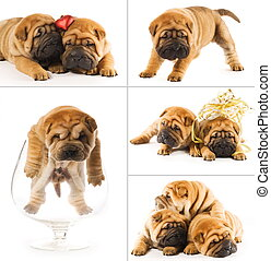 Collage of sharpei puppies