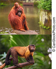 Collage of small monkeys sitting on a tree. Brown capuchin...