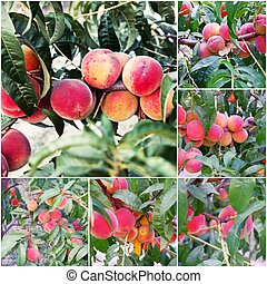 Collage of the ripe peach fruits on a branch