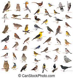 wild birds - collage of wild birds with names isolated on a...