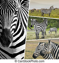 Collage of Zebras from Tanzania - travel background (my photos)