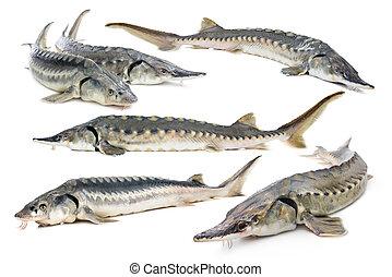 collage, pez, esturión