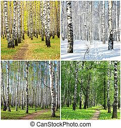 collage, quattro, fila, betulle, stagioni