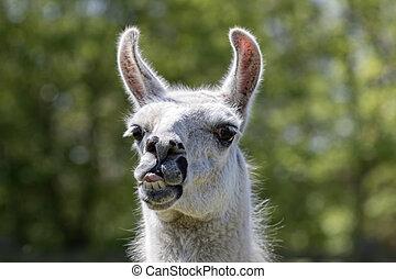 collage, rigolote, lama, lama, face., goofy, traction, langue animale, dehors