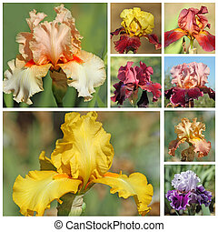 collage with bearded iris flowers, images from garden of iris in Florence