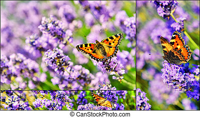 Collage with butterfly on blooming lavender flowers