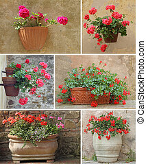 collage with geranium flowers in rustic  pots