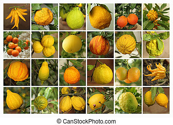 collage with images of various citrus fruits growing in historic orangery   in Boboli Garden in  Florence, unesco world heritage site, Italy, Europe