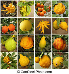 collage with images of various citrus fruits growing in historic winter garden in Boboli Garden in Florence, unesco world heritage site, Italy, Europe