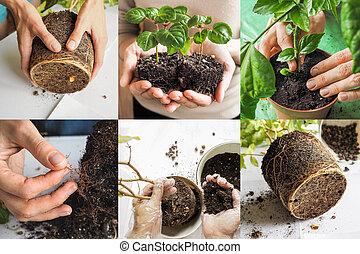 Collage with plant transplantation. Indoor gardening