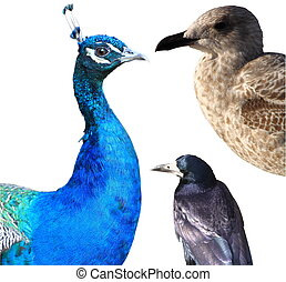 collage, witte , vrijstaand, vogels