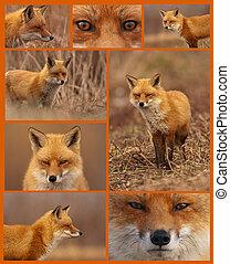 collage, zorro, rojo