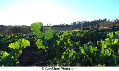 Collard plants growing on a field at the sunset