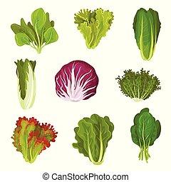 collard, spinazie, sla, saladevoedsel, boerenkool, mizuna, illustratie, bladeren, gezonde , vector, fris, verzameling, radicchio, romaine, zuring, organisch, vegetariër