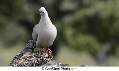 Collared dove perched
